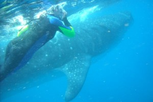 whale shark diving isla mujures
