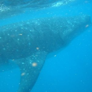 whale shark cancun