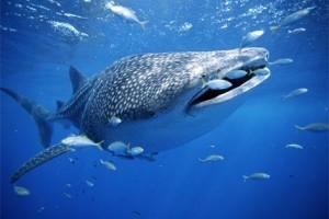 cancun whale shark