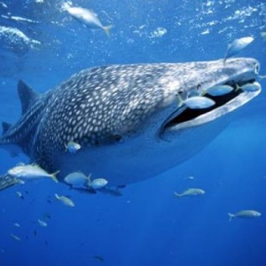 cancun whale shark