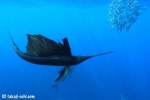 sailfishing in cancun