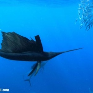 sailfishing in cancun