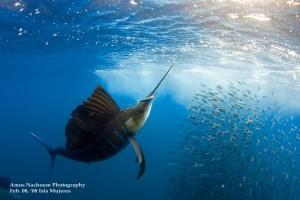 sailfish cancun