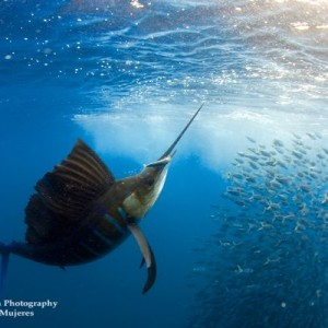 sailfish cancun