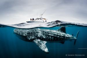 Whale Shark Cancun