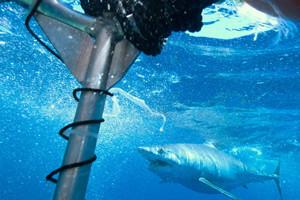 shark cage isla mujeres