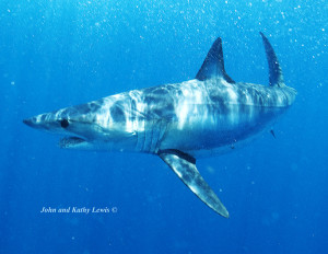 cancun shark cage diving