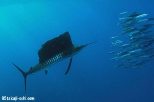sailfish charter boat