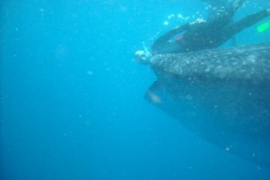 whale shark isla mujures