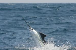 sail fish charter