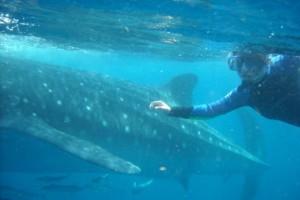 whale shark diving cancun