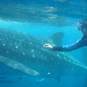 whale shark diving cancun